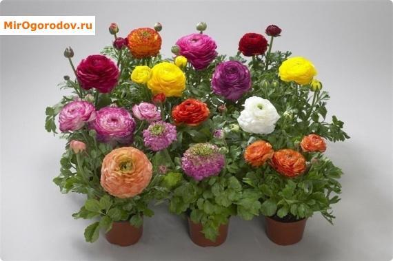 Цветы ранункулюс и уход