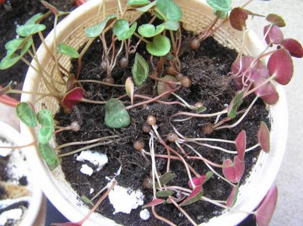 Выращивания цикламенов из семян в домашних условиях