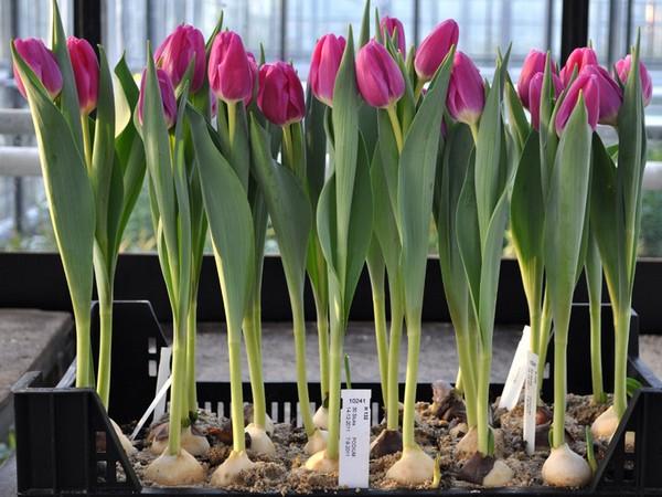 Тюльпаны из луковиц как сажать 78