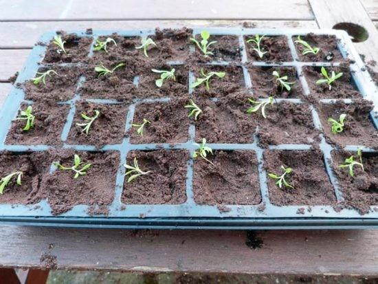 Сажать гвоздику семенами осенью 38