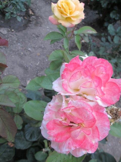 Разнообразные розы на моей даче