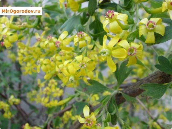 Цветение черной смородины обещает щедрый урожай