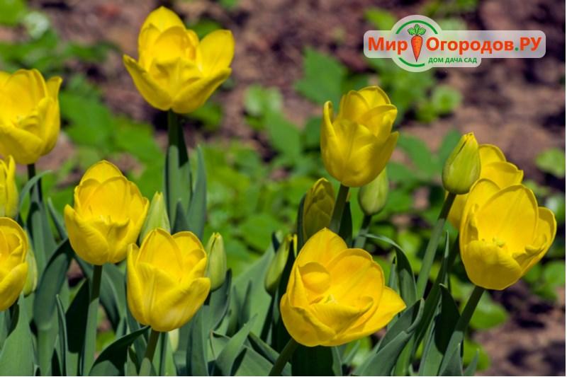Тюльпаны Голден
