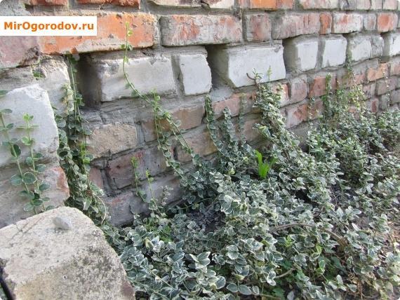 Защитная стенка для малинника