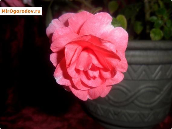 Цветок бальзамина