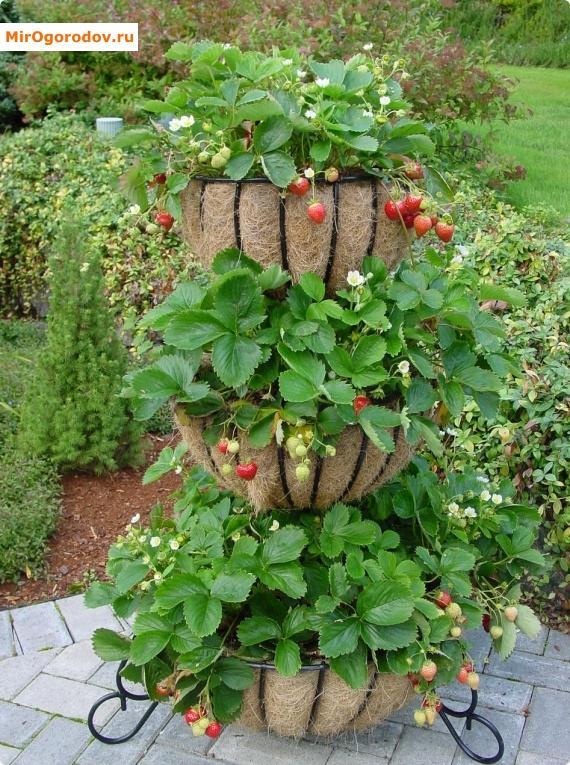 Сад огород своими руками клубника