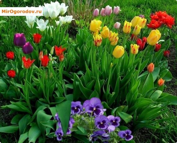Когда отцветут тюльпаны что делать