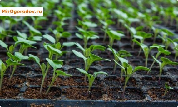 Изображение - Как вырастить цветную капусту на продажу prev_d1ca16
