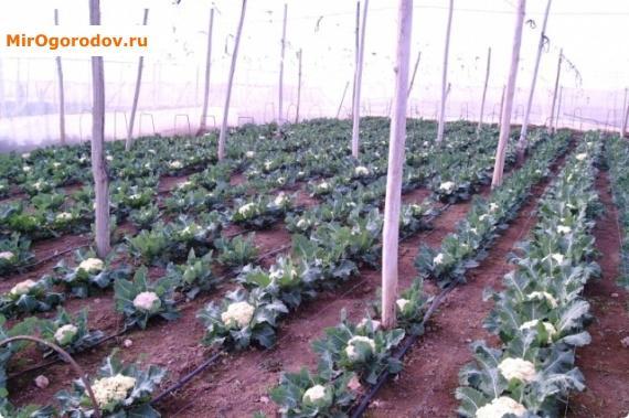 Изображение - Как вырастить цветную капусту на продажу prev_fdc24b