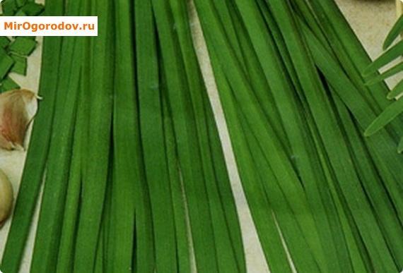 Многолетний лук слизун – вкусная витаминная зелень и декоративное украшение для участка