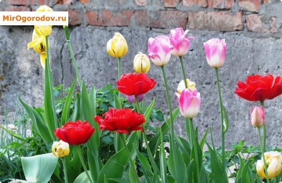 тюльпаны возле дома