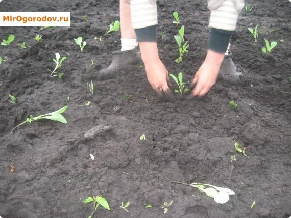 как высаживать рассаду капусты