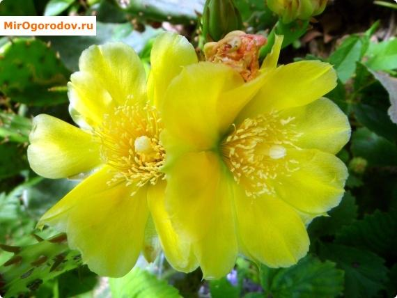 опунция цветет