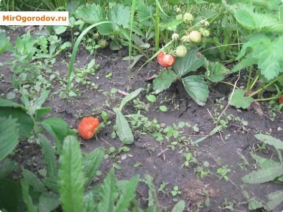 повреждённые птицами ягоды