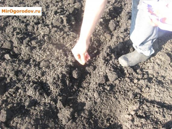 посев семян огурцов в открытый грунт