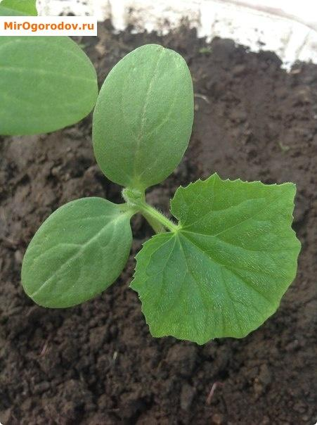 У растения перед высадкой в почву должно быть 3-4 настоящих листиков