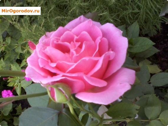 роза розовая большая