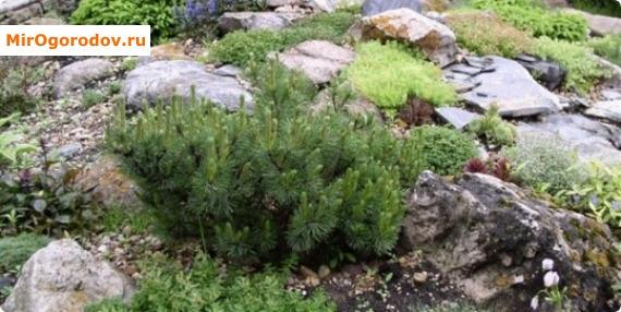 Альпинарий их хвойных растений