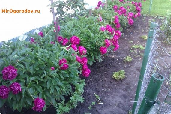 цветение кустов пиона