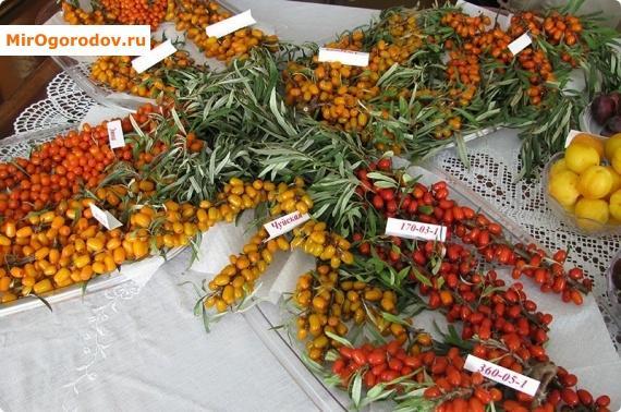 Красные, оранжевые и желтые ягоды облепихи