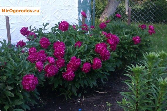 цветки пионов