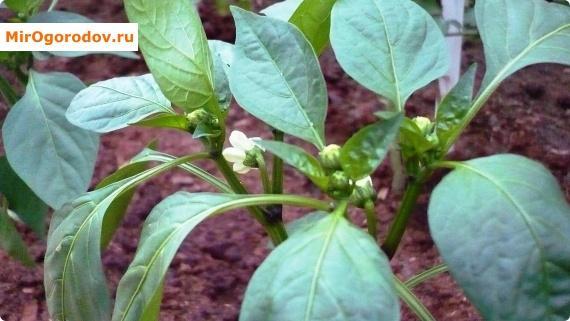 Болгарский перец цветет