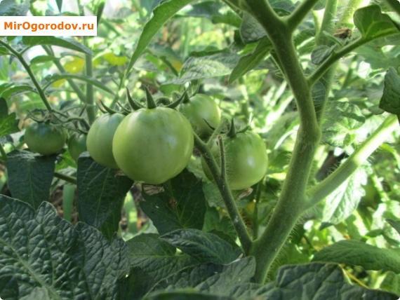 рост плодов
