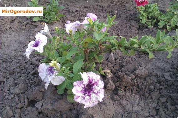 цветки петунии