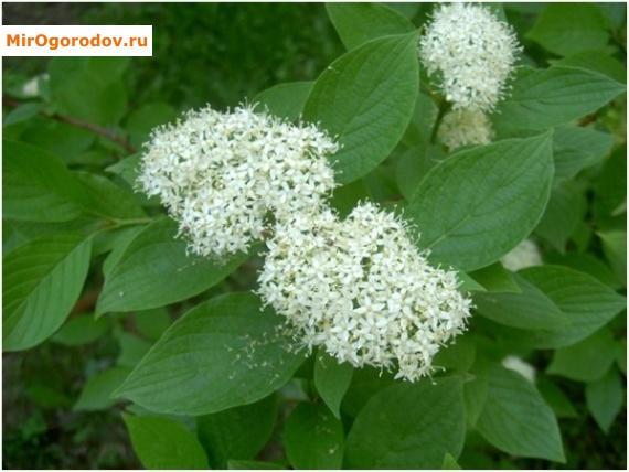куст с белыми цветами в июне