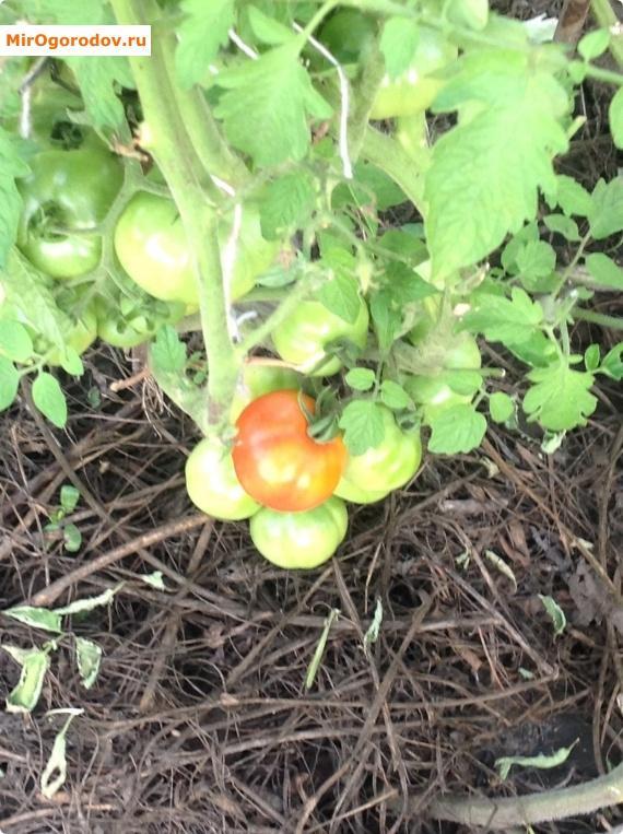 Именно от рассады зависит урожайность куста.