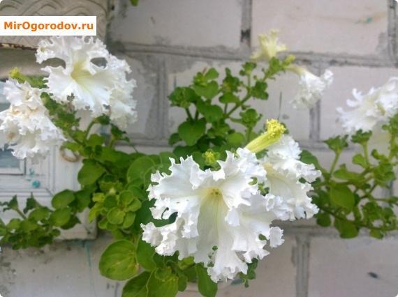 белые цветы петунии