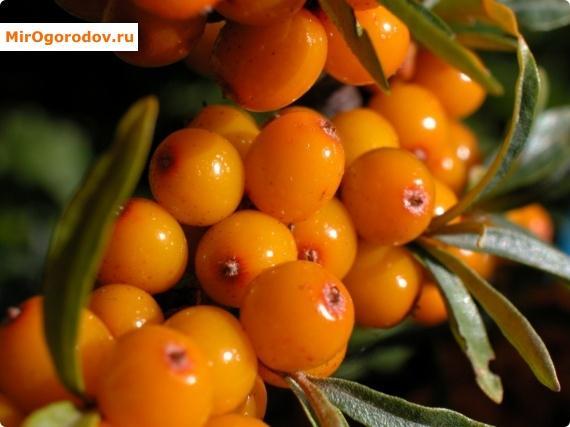 Витаминная ягода
