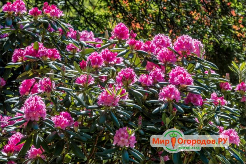 Рододендрон в цвету