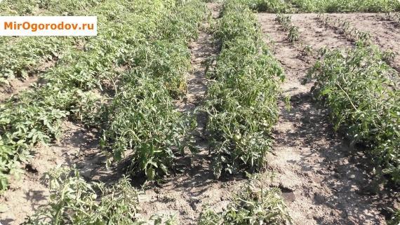 как я выращиваю помидоры