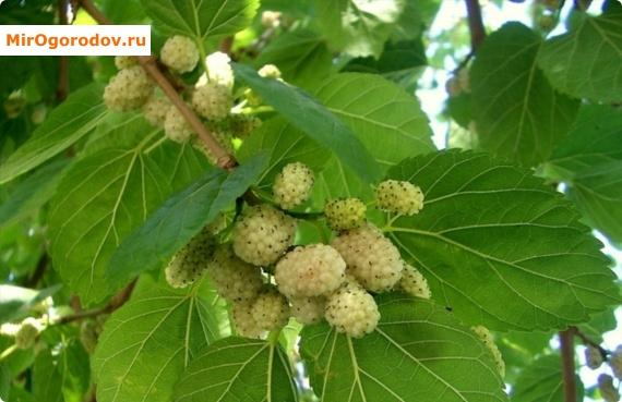 Шелковица плакучая – красиво и вкусно на ограниченной территории