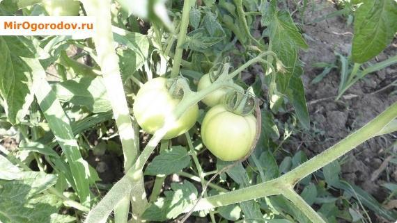 вот так выглядят помидорчики через полтора месяца после посадки