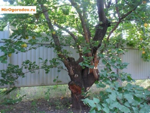 Восстановившееся абрикосовое дерево.