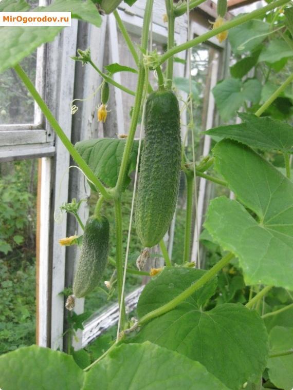 Инструкция для ленивых, но ответственных огородников: как посадить огурчики без особых хлопот?