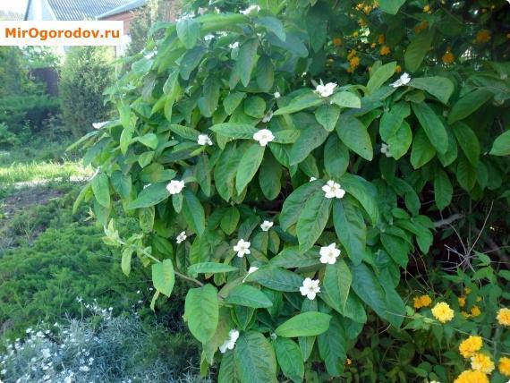 цветущая мушмула