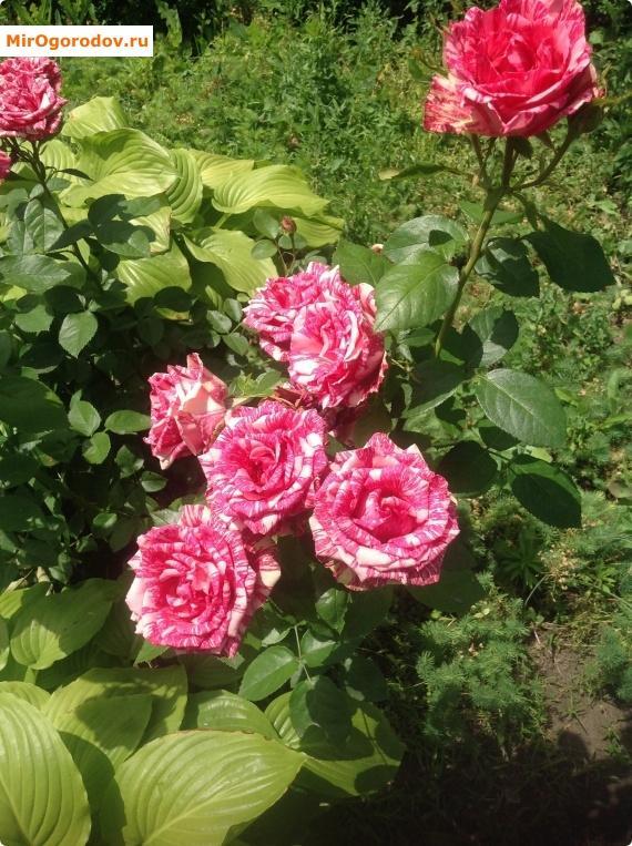 шикарный куст розы