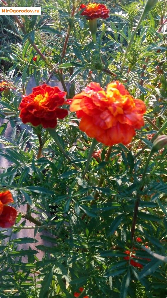 У бархатцев крепкий ствол и яркий цветок