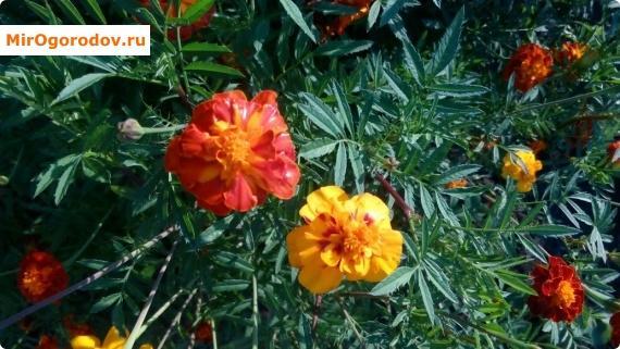 Бархатцы - это очень красивые и неприхотливые цветы.