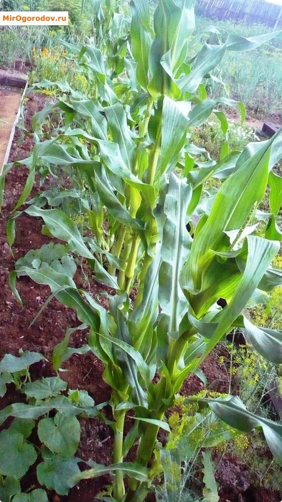 Кукуруза – это вкусно!