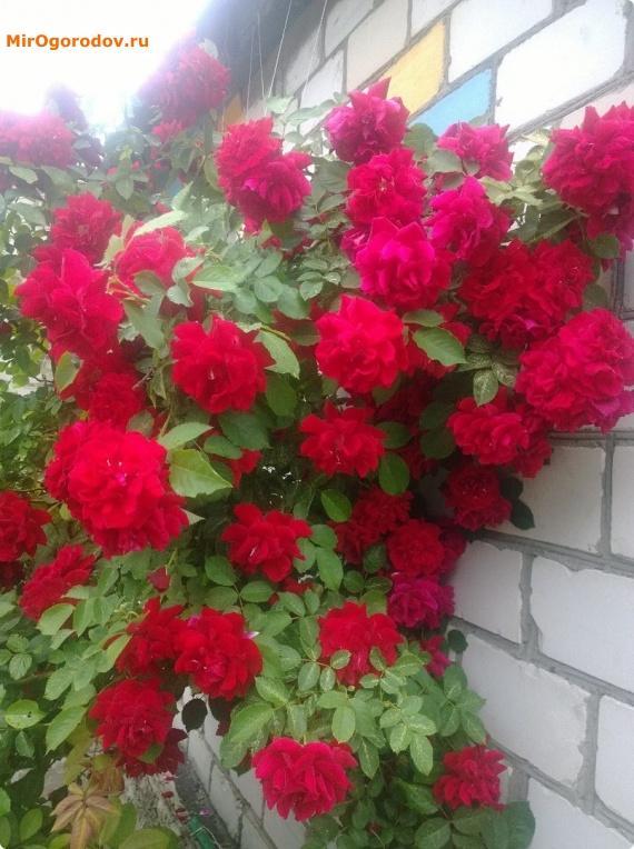 обильное цветение розы