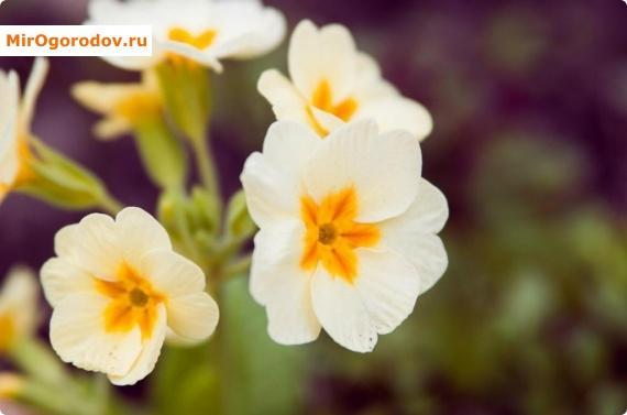 Нежный цветок примулы