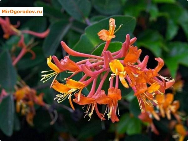 Разноцветные соцветия Фуксиоидеса
