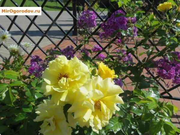 Сочетание желтого и фиолетового - классика