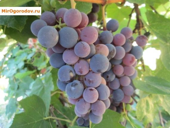 виноград даль рецепты компот