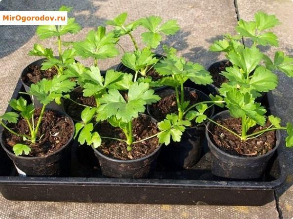 Как избежать ошибок при выращивании черешкового сельдерея и уходе за ним