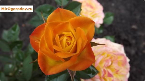 Роза летом